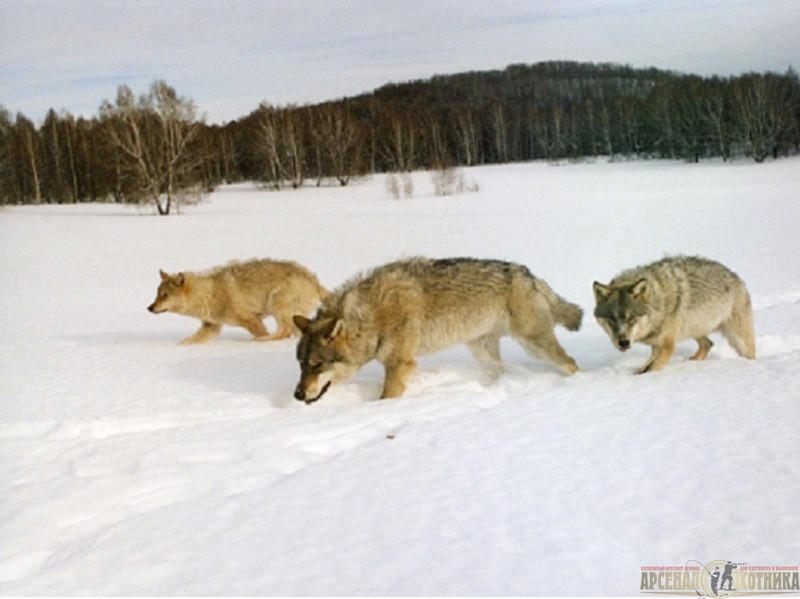 с волками дружбы