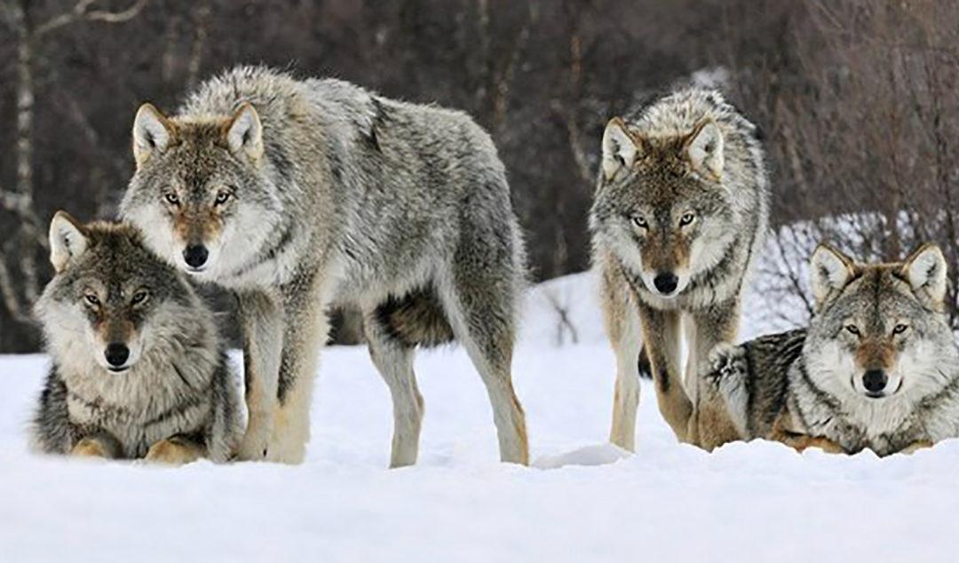 С волками дружбы не получится