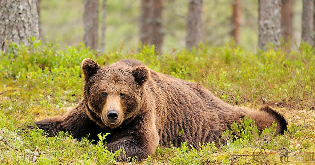 Смотри – медведь…